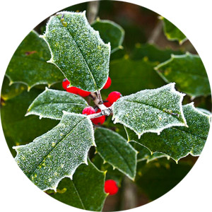 Holly, the Birth Flower for December
