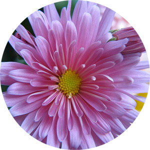 Chrysanthemum, the Birth Flower of November